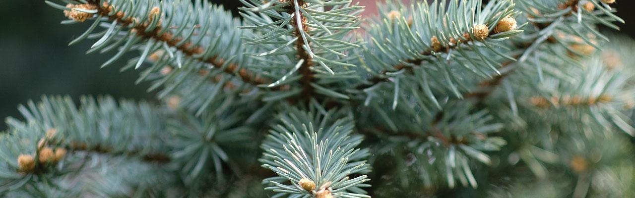 fir pine needles by Steve Crooks Freelance Designer Suffolk